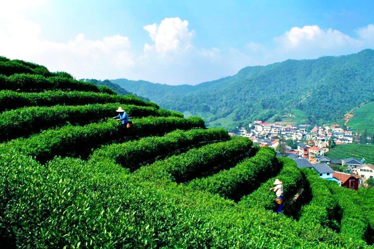 Meijiawu Longjing Tea Plantation in Spring
