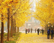 Golden Ginkgoes in Autumn