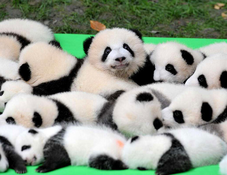Lovely Baby Giant Pandas