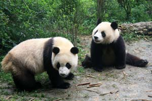Meet the lovely pandas in their hometown