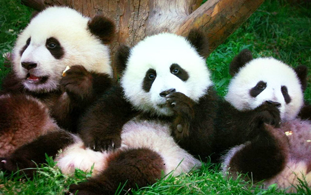 Lovely Pandas in Chengdu