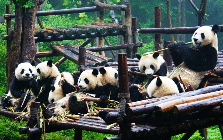 Giant Pandas Enjoying Leisure Time Together