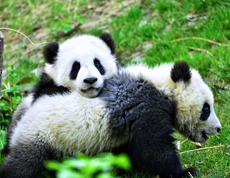 Cute Pandas Living in Their Natural Environment