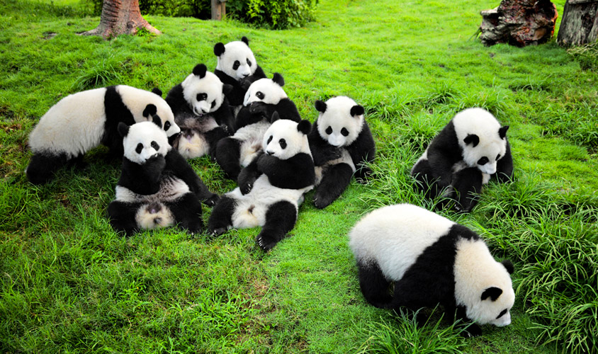 Image result for Sichuan Giant Panda Sanctuaries, Chengdu