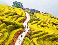 Golden Rice Terrace Fields  (Late September ~ Early October)