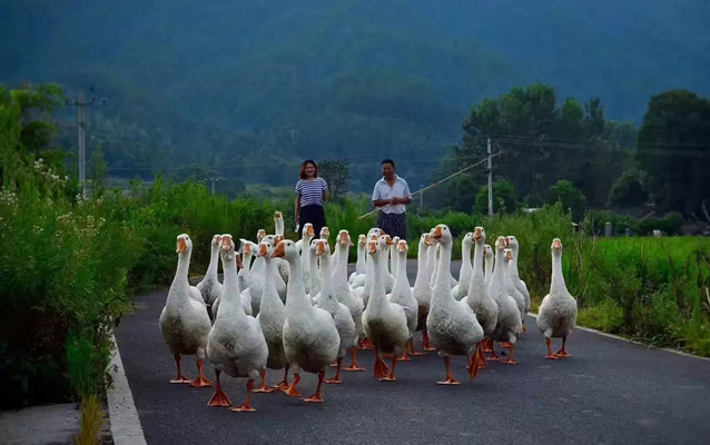 Villager is driving gooses home in Bishan
