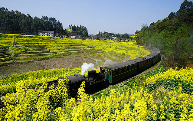 Jiayang Steam Train passing through canola flowers in mid March