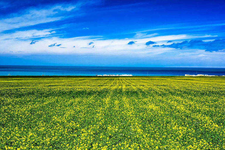 Rape flowers Blooming around Qinghai Lake in July