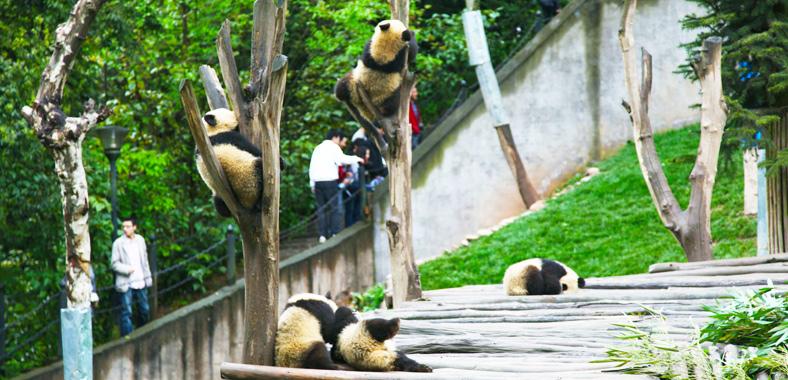 Bifengxia Panda Base Bifengxia Panda Volunteer Program