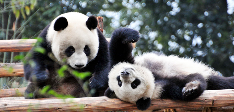 Image result for Giant Pandas in Chengdu