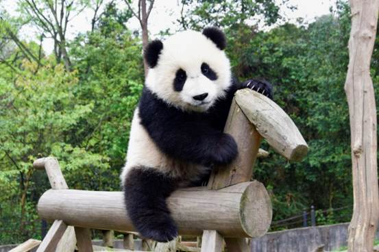 Giant Panda Facts, Panda Bear Facts