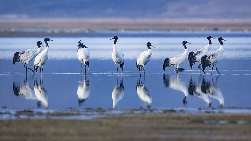 Black Tailed Cranes at Napahai Lake in Shangri-La, Tour Customized by Wendy