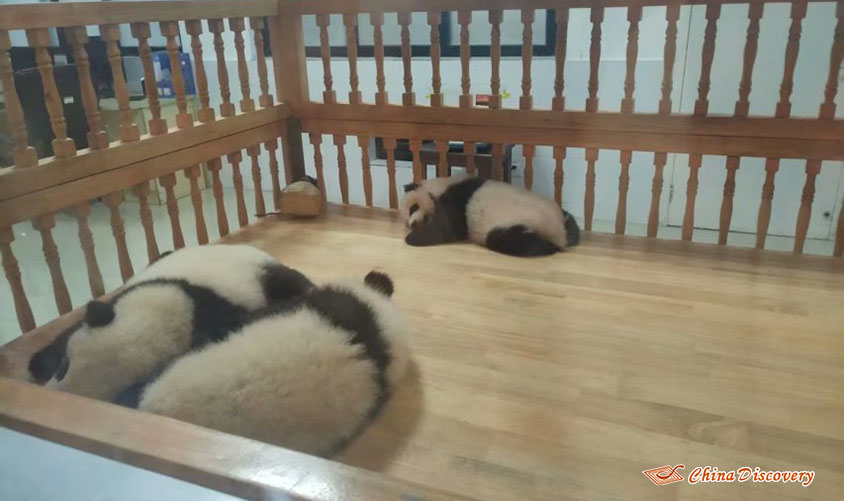 Yanny 1 Day Chengdu Panda Base Tour