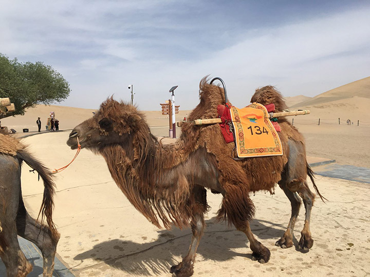 Camel on Echoing Sand Mountain, Photo Shared by Monica, Tour Customized by Leo