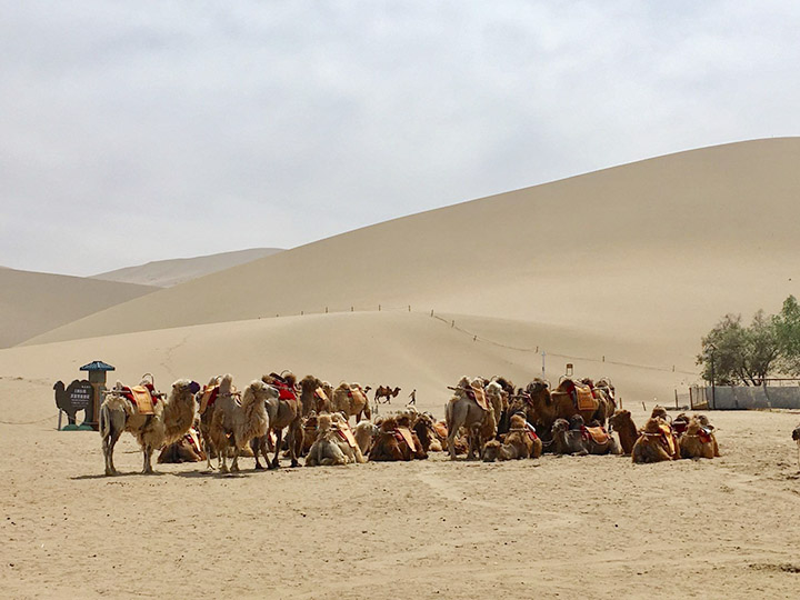 A Group of Camels, Photo Shared by Monica, Tour Customized by Leo