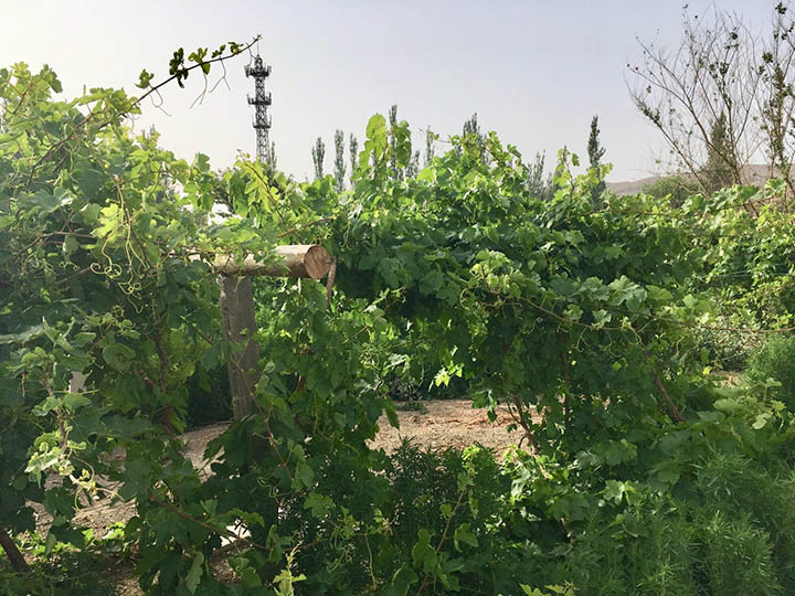 Grape Trellis in Turpan, Photo Shared by Monica, Tour Customized by Leo