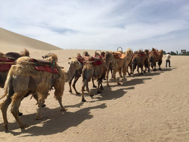 Camel Group - Symbol of the Silk Road, Photo Shared by Monica, Tour Customized by Leo