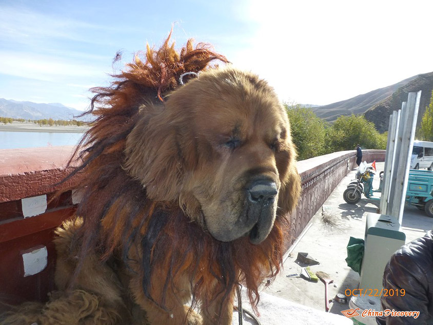 Tibetan Mastiff, Photo Shared by Steve, Tour Customized by Leo