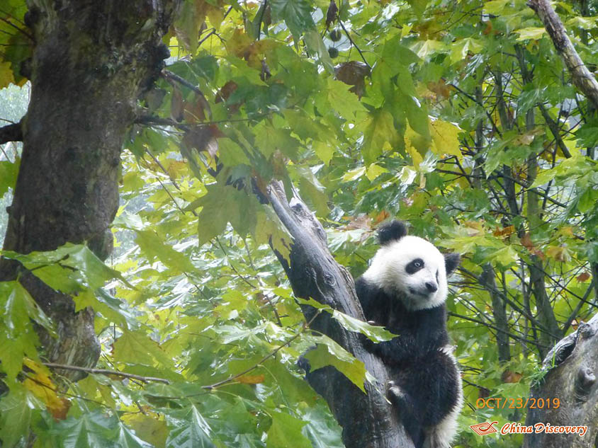 Giant Panda at Dujiangyan Panda Base, Photo Shared by Steve, Tour Customized by Leo
