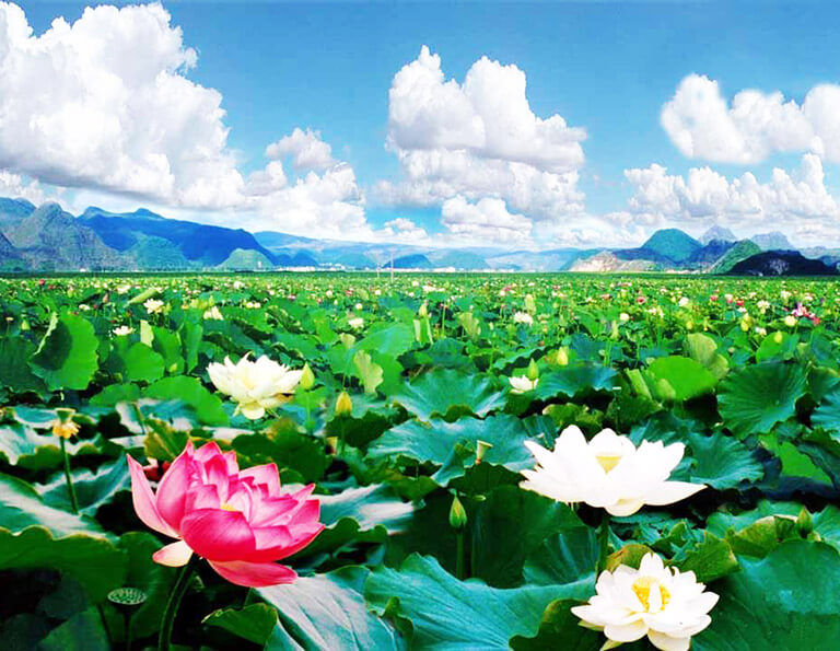 Lotus Blossom in Puzhehei Scenic Area