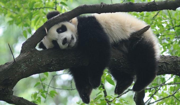 Bifengxia Panda Reserve Panda Pictures Photos Amp Photography