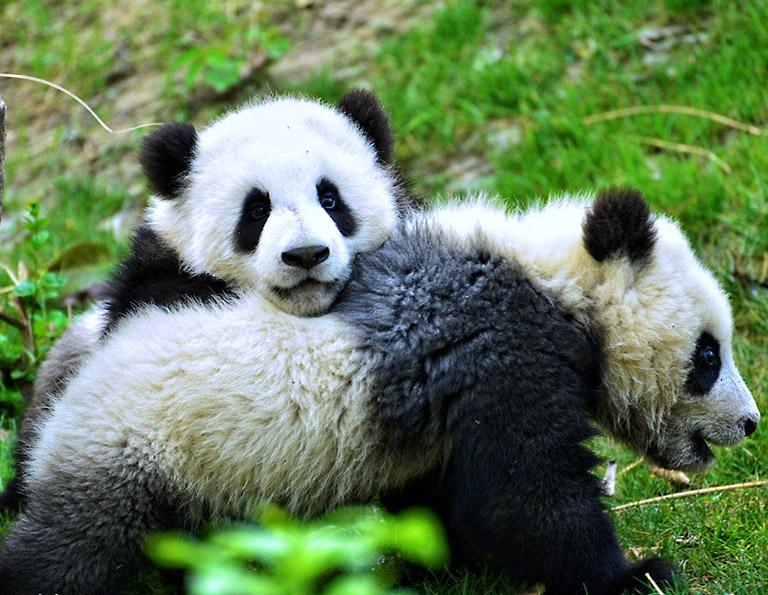 Chengdu Panda Tour, Panda Volunteer Tour, Panda Tours ...