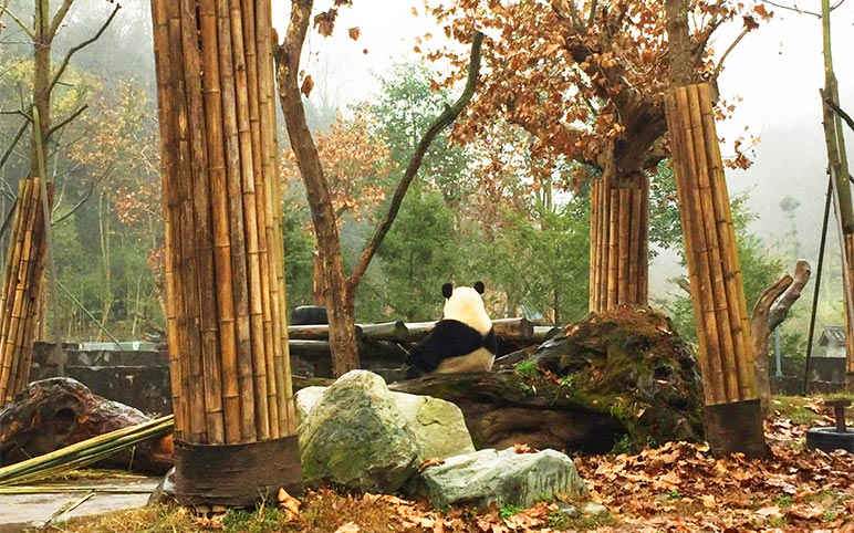 Pandas at Dujiangyan Panda Base