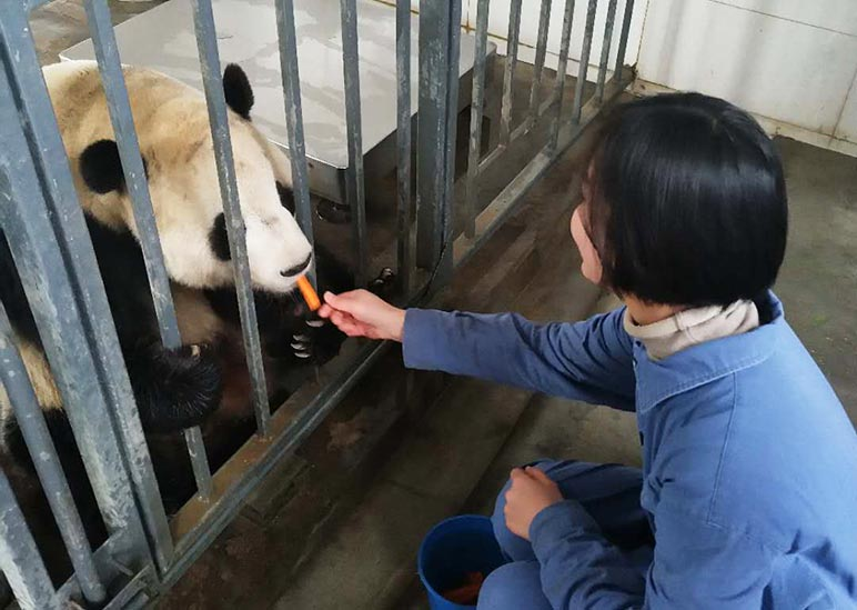 Feed Pandas at Dujiangyan Panda Base