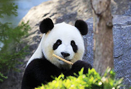 Adult Panda in China