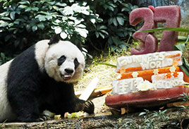Elder Panda in China