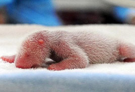 Newborn Panda in China