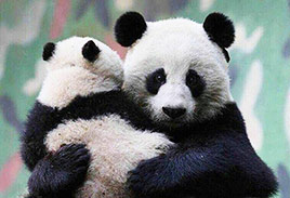 Panda Mommy and Baby