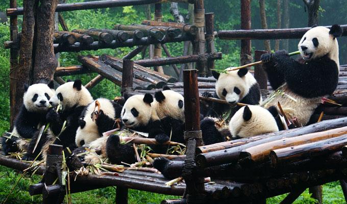 Resultado de imagem para Chengdu pandas