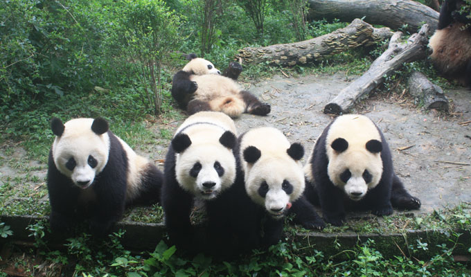 Hi Cutie! Meet Giant Pandas in China