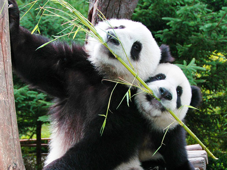 See Active Pandas at Chengdu Panda Base