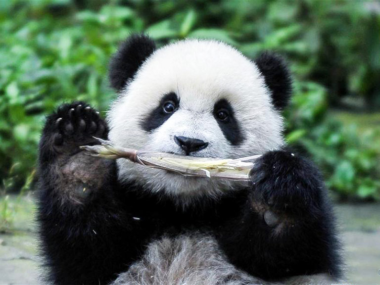 Panda Likes Eating Bamboo Shoots