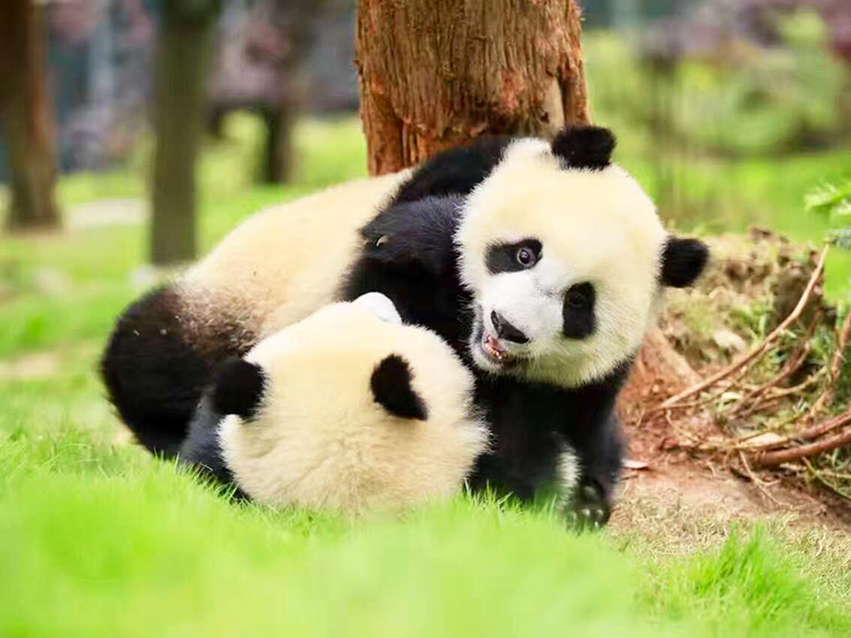 Cute Giant Pandas in Chengdu