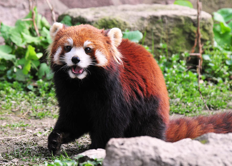 Red Panda in Hetaoping Panda Base