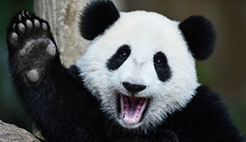 Adult Panda Photos
