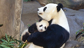 Giant Panda Photos