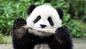 Bifengxia Panda Photos
