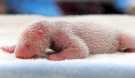 Newborn Panda Photos