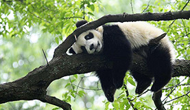 Sub-Adult Panda Photos