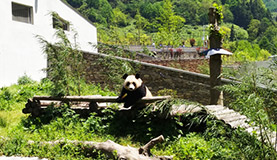 Wolong Panda Photos