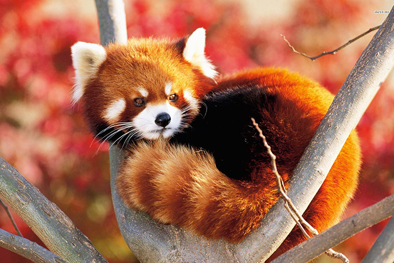 Red Panda Volunteer program